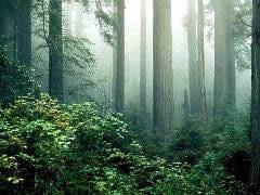 redwood3